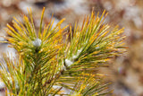 Pinus densiflora 'Aurea' Golden Japanese Red Pine Tree