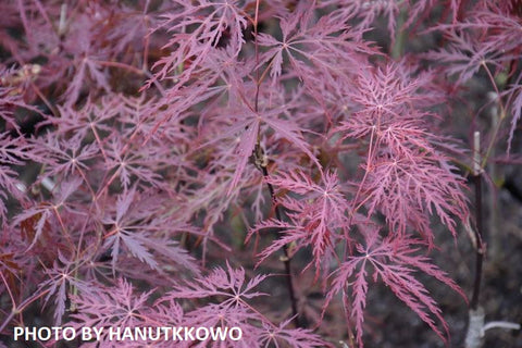 Acer palmatum 'Stella Rossa' Weeping Japanese Maple