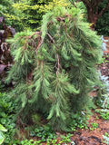Pinus densiflora 'Pendula' Weeping Japanese Red Pine Tree