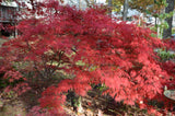 Acer palmatum 'Octopus' Weeping Japanese Maple