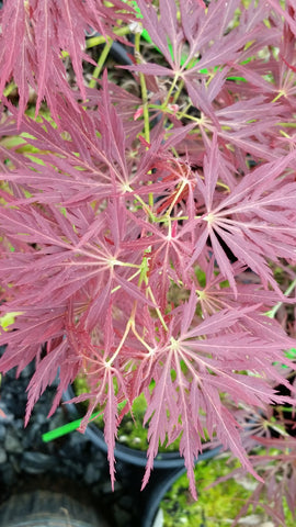 Acer palmatum 'Kim' Japanese Maple