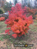 Acer palmatum 'Calico' Japanese Maple Tree