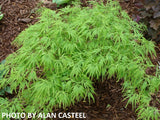 Acer palmatum 'Green Mist' Japanese Maple