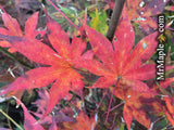Acer palmatum 'Tsukabane' Japanese Maple