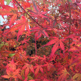 Acer palmatum 'Little Embers' Japanese Maple