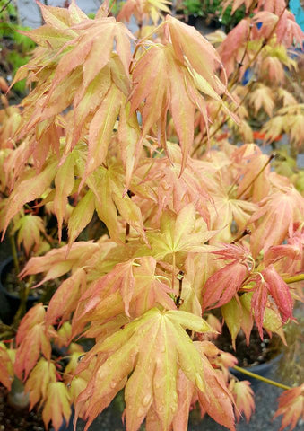 Acer palmatum 'Mizu kigure' Japanese Maple