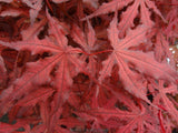 Acer palmatum 'Dark Ghost' Japanese Maple