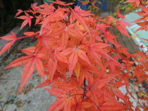 Acer palmatum 'Red Wine' Red Japanese Maple