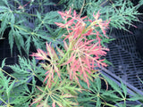 Acer palmatum 'Watermelon' Weeping Japanese Maple