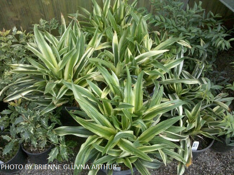 Rohdea japonica 'Mure suzume' Variegated Omoto Sacred Lily
