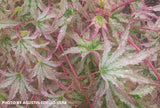 Acer palmatum 'Peve Multicolor' Japanese Maple