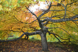 Acer palmatum 'Westonbirt Spreading Star' Japanese Maple