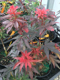 Acer palmatum 'Cricket' Narrow Growing Japanese Maple