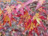 Acer palmatum 'Fall's Fire' Japanese Maple