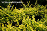 Ilex crenata 'Golden Gem' Dwarf Yellow Japanese Holly