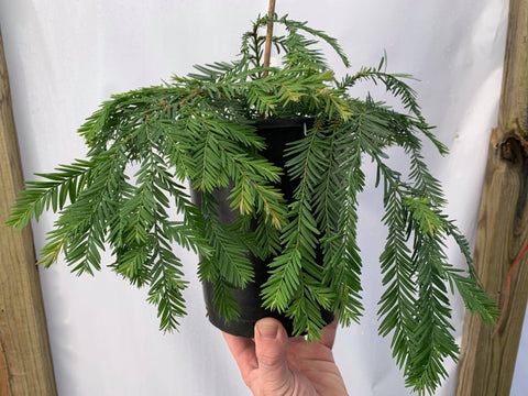 Sequoia sempervirens 'Kelly's Prostrate' Flat Dwarf Coastal Redwood