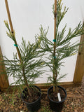 Sequoiadendron giganteum 'French Beauty' Variegated Giant Redwood