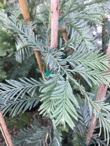 Sequoia sempervirens 'Filoli' Blue Costal Redwood