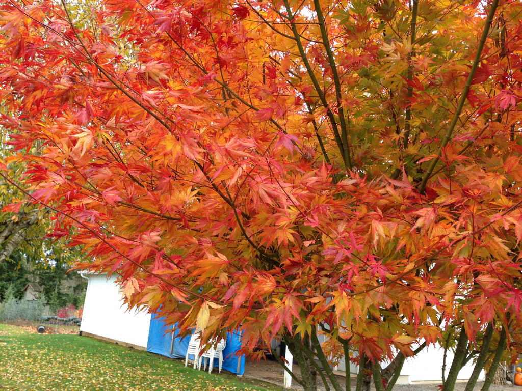 Buy Acer Palmatum Orange Flame Great Fall Color Japanese Maple