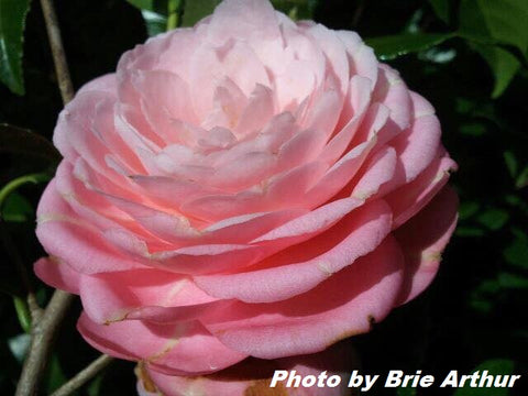 Camellia japonica 'April Pink' Double Pink Flowering Hardy Camellia
