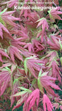 Acer palmatum 'Kansai akegarasu' Japanese Maple