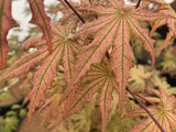 Acer palmatum 'Firefly' Japanese Maple