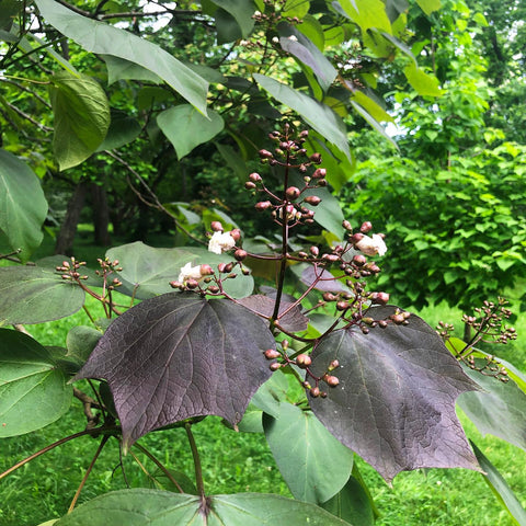 Catalpa x erubescens 'Purpurea' Purple New Growth Indian Bean Tree