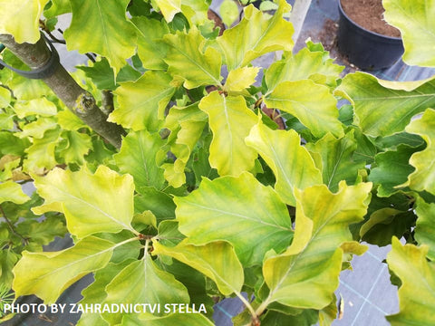 Fagus sylvatica 'Rohan Gold' Golden European Beech Tree