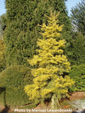 Abies concolor 'Wintergold' Golden White Fir Grafted on Abies firma