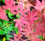 Acer palmatum 'Gable's Glory' Chameleon Japanese Maple