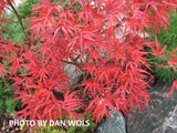 Acer palmatum 'Kamagata' Japanese Maple