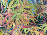 Acer palmatum 'Ao shime-no-uchi shidare' Green Linearilobum Japanese Maple