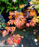 Acer japonicum 'Longwood' Dancing Peacock Japanese Maple