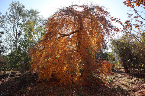 Acer palmatum 'Chika' Weeping Japanese Maple
