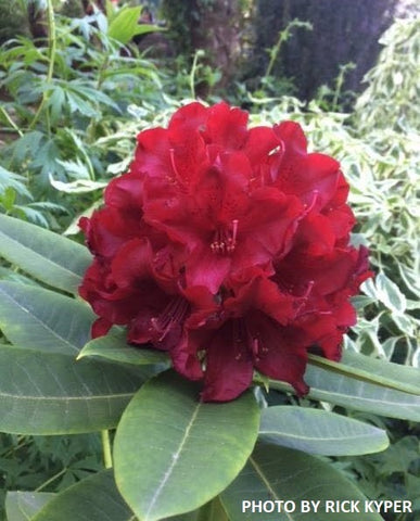 Rhododendron 'Black Magic' Deep Red Blooms