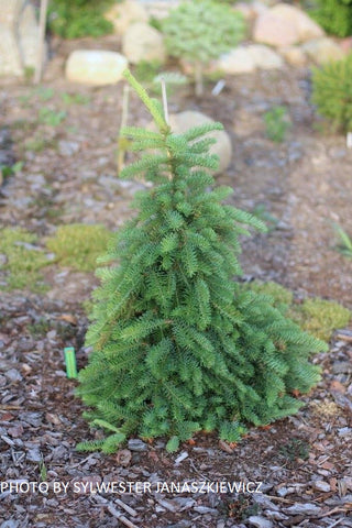Abies procera 'La Graciosa' Weeping Noble Fir Grafted on Abies firma