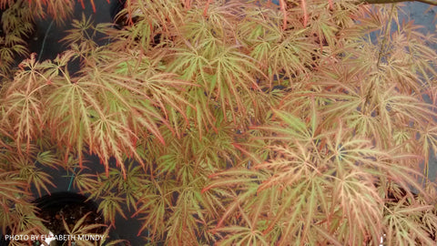 Acer palmatum 'Peggy' Weeping Japanese Maple