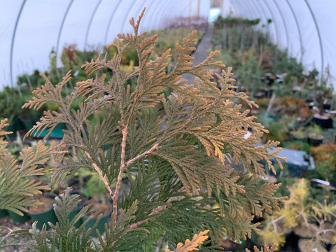 Thuja occidentalis 'Pumila Sudworth' Golden Arborvitae