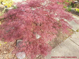 Acer palmatum 'Red Select' Weeping Japanese Maple