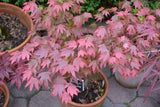 Acer palmatum 'In The Pink' Dwarf Red Japanese Maple Tree
