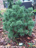 Pinus strobus 'Mini Twists' Dwarf White Pine