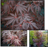 Acer palmatum 'Red Saber' Japanese Maple Tree