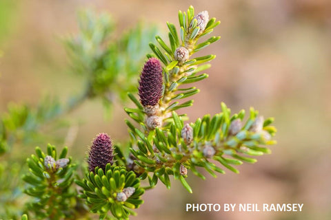 Abies koreana 'Aurea' Korean Fir Grafted on Abies firma