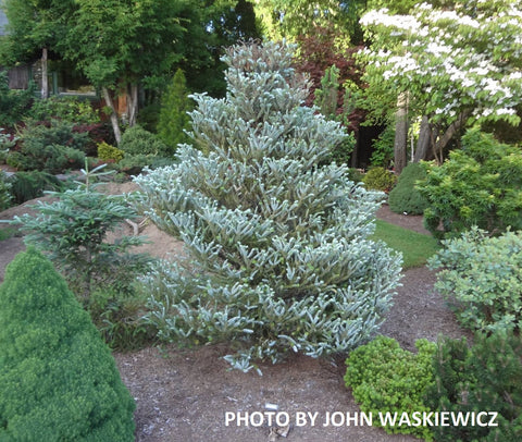 Abies koreana 'Silver Show' Korean Fir Grafted on Abies firma