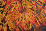 Acer japonicum 'Fairy Lights' Dwarf Full Moon Japanese Maple
