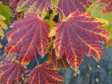 Acer japonicum 'Giant Moon' Full Moon Japanese Maple