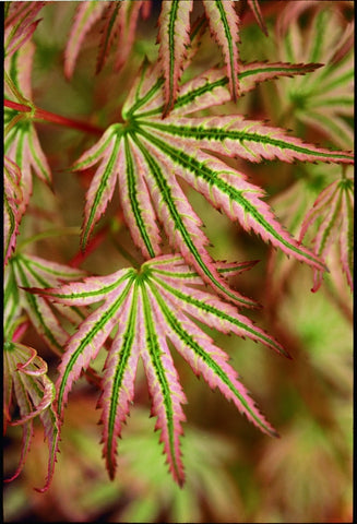 Acer palmatum 'Alpenweiss' Variegated Japanese Maple