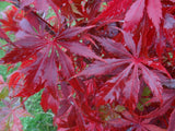 Acer palmatum 'Emerald Isle' Japanese Maple