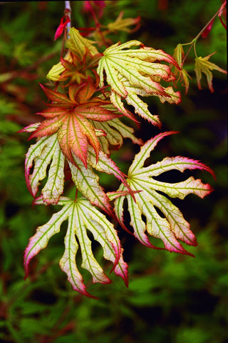 Acer palmatum 'First Ghost' Japanese Maple