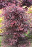Acer palmatum 'Hubb's Red Willow' Japanese Maple